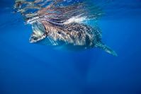 IdolJennifer whaleShark