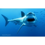 Special Feature: Shark Attacks in Perspective